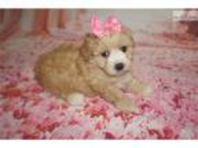 Mindy Gorgeous Female CKC Morkipoo Puppy!