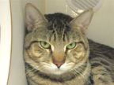 Adopt Brock a Domestic Short Hair