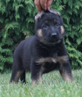 German Shepherd Dog PUPPY FOR SALE ADN-89372 - Amazing AKC German  Shepherd Puppies