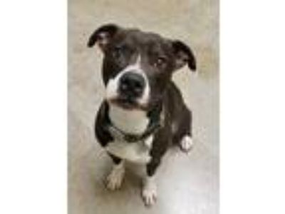 Adopt Drummer a Black American Pit Bull Terrier / Boxer / Mixed dog in