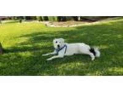 Adopt Sugar - Courtesy Post a Border Collie, Labrador Retriever