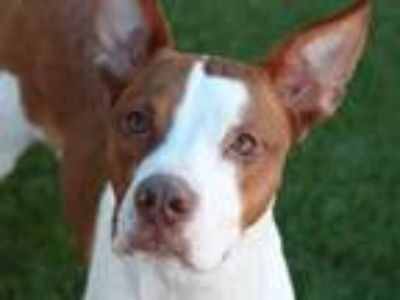 Adopt SUNNY a Pointer, Mixed Breed