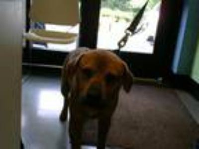 Adopt NOMAD a Chow Chow, Pit Bull Terrier
