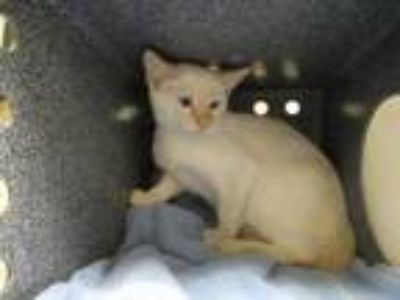 Adopt Stegly a White Siamese / Domestic Shorthair / Mixed cat in Irving