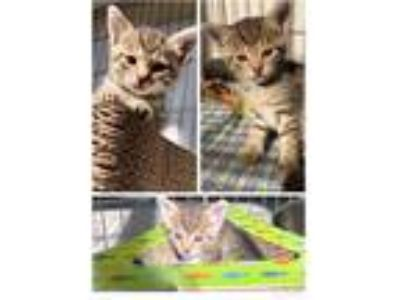 Adopt Sofie a Brown Tabby Domestic Shorthair (short coat) cat in Toms River