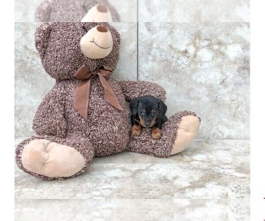 Dachshund PUPPY FOR SALE ADN-130246 - Kamy The Dachshund