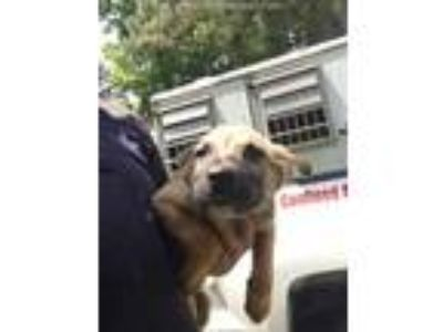 Adopt IRIS a Tan/Yellow/Fawn - with Black Labrador Retriever / Mixed dog in