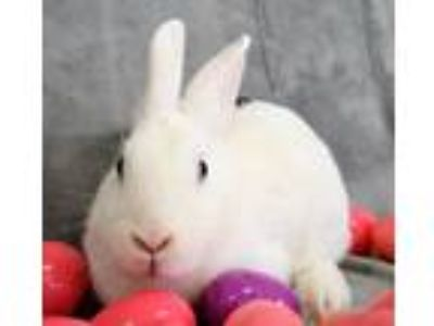 Adopt Apache a White Other/Unknown / Mixed rabbit in Michigan City