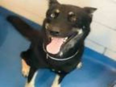 Adopt SMOKEY a German Shepherd Dog