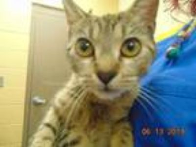 Adopt RUBIE a Brown Tabby Domestic Shorthair / Mixed (short coat) cat in