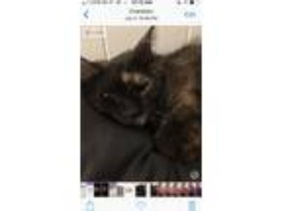 Adopt Molly a Tortoiseshell Domestic Shorthair / Mixed cat in Cranston
