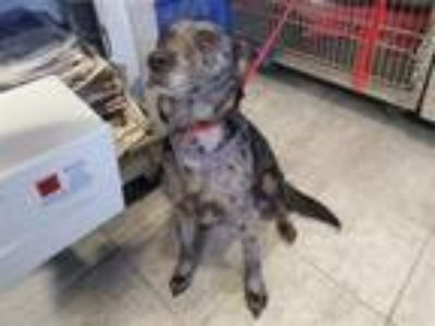 Adopt ELLIE a Catahoula Leopard Dog, Mixed Breed