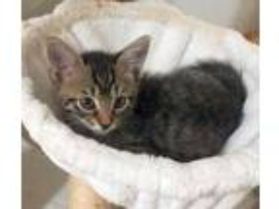 Adopt Giselle a Brown or Chocolate Domestic Shorthair / Domestic Shorthair /