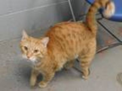 Adopt Tiger a Tabby