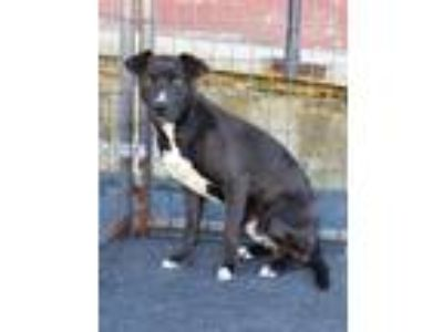 Adopt Bashful Bert a Black - with White Terrier (Unknown Type