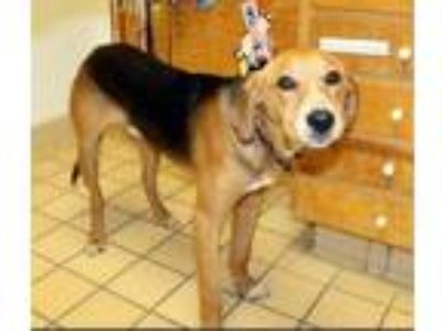 Adopt Marmaduke a Tricolor (Tan/Brown & Black & White) Hound (Unknown Type) /