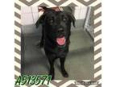 Adopt MILO a Labrador Retriever, German Shepherd Dog