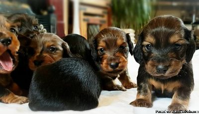 Beautiful Kc Registered Dachshund Puppies
