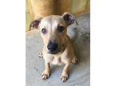 Adopt Kiko a Tan/Yellow/Fawn Hound (Unknown Type) / Mixed dog in Lihue