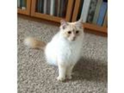 Adopt Marshmello a White (Mostly) Siamese (medium coat) cat in Wasilla