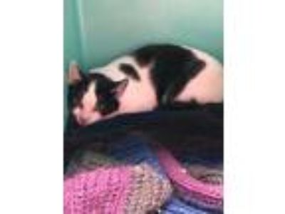 Adopt Spots a All Black Domestic Shorthair / Domestic Shorthair / Mixed cat in