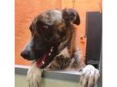 Adopt Brax a Brindle Shepherd (Unknown Type) / Mixed dog in Chattanooga