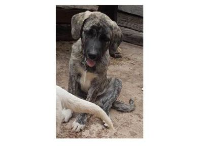 Anatolian Shepherd PUPPY FOR SALE ADN-85360 - Pipers Litter