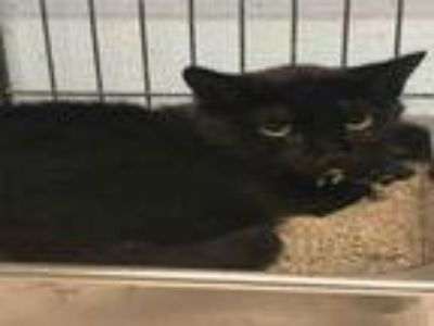 Adopt PAIGE a Domestic Short Hair