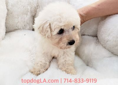 Maltipoo Puppy - Female - Bella ($1,299)