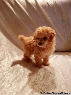 Sweet Lovely Poodle Available