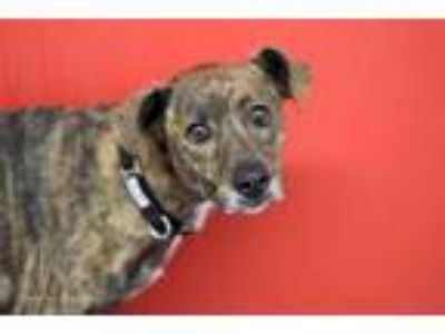 Adopt SAMMY a Brindle - with White Labrador Retriever / Mixed dog in Tucson