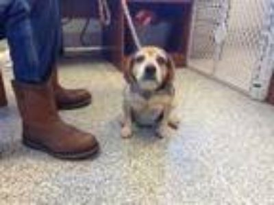Adopt Abby a Brown/Chocolate Beagle / Mixed dog in Pickens, SC (25257238)