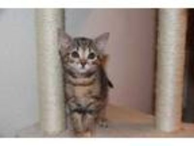 Adopt Gina a Gray or Blue Domestic Shorthair / Domestic Shorthair / Mixed cat in