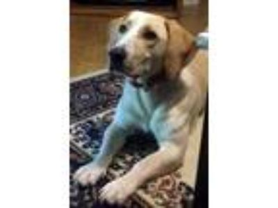 Adopt DOLLY a Basset Hound, Yellow Labrador Retriever