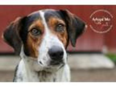 Adopt Lea Lexington a Treeing Walker Coonhound / Mixed dog in Barrington