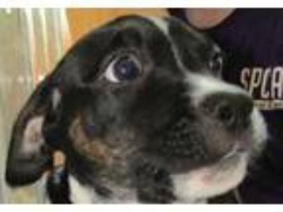 Adopt Louie a Black American Pit Bull Terrier / Mixed dog in McKinney