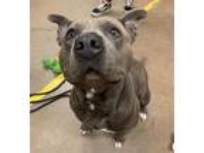 Adopt Gloria (mcas) a American Pit Bull Terrier / Mixed dog in Troutdale