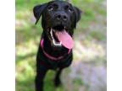 Adopt Aye a Black Rottweiler dog in Gainesville, FL (25305378)