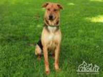 Adopt MARINE a German Shepherd Dog, Mixed Breed