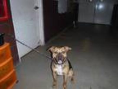 Adopt LENA a Brown/Chocolate - with Black Boxer / Labrador Retriever / Mixed dog
