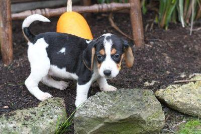 Trisha Female Beagle