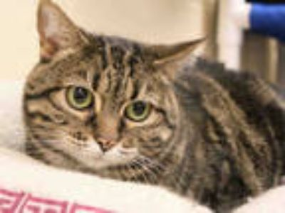 Adopt PATTY RAE a Brown Tabby Domestic Shorthair / Mixed (short coat) cat in