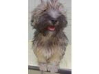 Adopt Butch a Black - with Gray or Silver Havanese / Mixed dog in Birch Tree