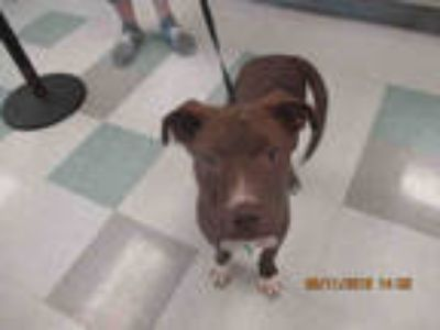 Adopt KIX a Brown/Chocolate Labrador Retriever / Mixed dog in Oklahoma City