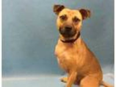 Adopt Dobby a Tan/Yellow/Fawn American Pit Bull Terrier / Mixed dog in St.