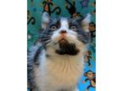 Adopt Swoosh a Domestic Short Hair
