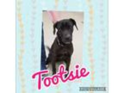 Adopt Tootsie a Black - with White Labrador Retriever dog in Dickson