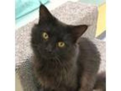 Adopt Boone a Gray or Blue Domestic Longhair cat in Sarasota, FL (25358653)