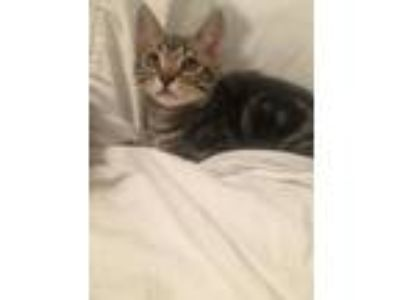 Adopt Timon a Brown or Chocolate Domestic Shorthair cat in Parlier