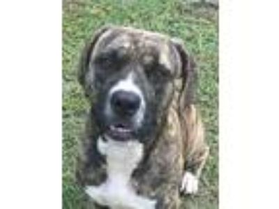 Adopt BUSTER a Brindle - with White Basset Hound / Mastiff / Mixed dog in
